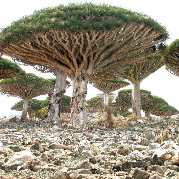 sárkányvér fa, különleges