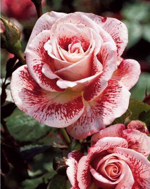 Gyönyörű rózsa
