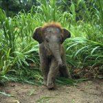 baby elefánt